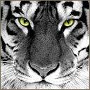tiger's Avatar